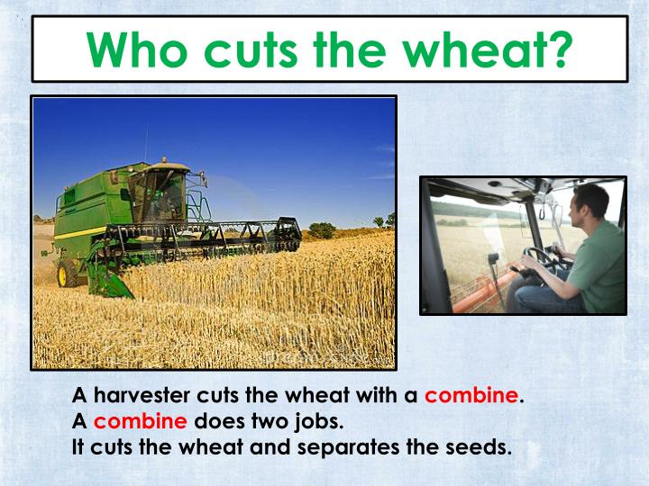 Who cuts the wheat?