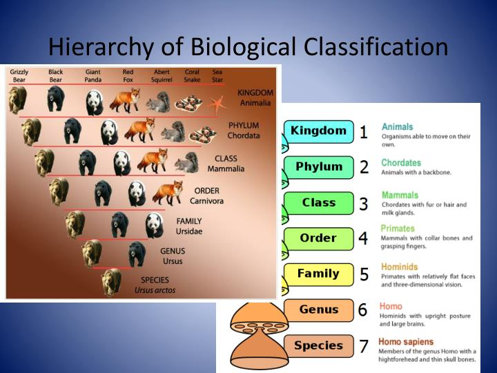 Hierarchy of Biological Classification