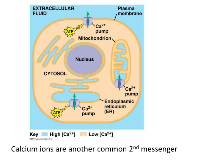 Calcium ions are another common 2
