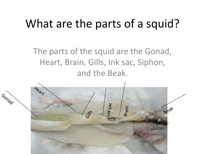What are the parts of a squid?