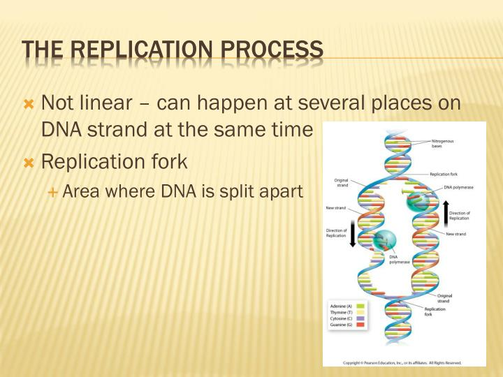Not linear – can happen at several places on DNA strand at the same time