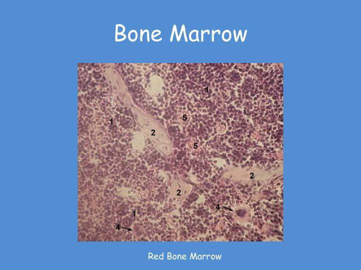 Bone Marrow