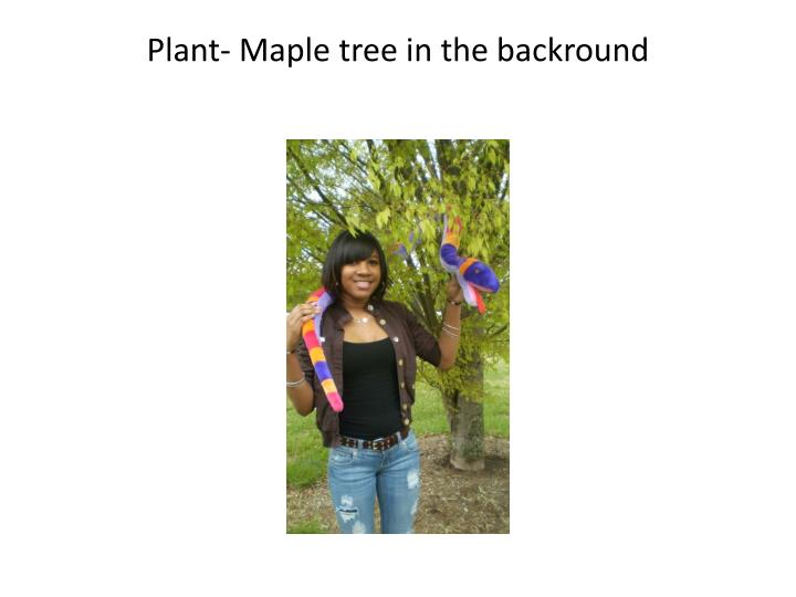 Plant- Maple tree in the