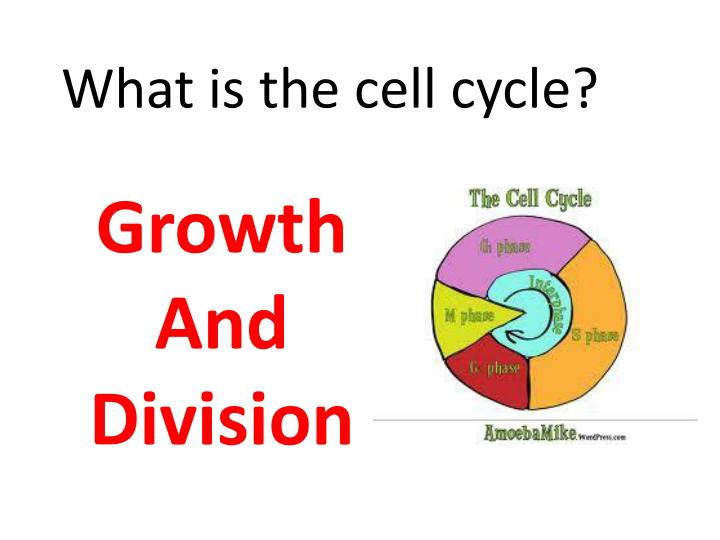 What is the cell cycle?