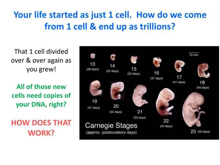 Your life started as just 1 cell how do we come from 1 cell end up as trillions