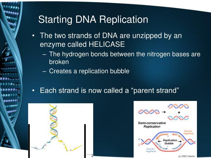 Starting DNA Replication