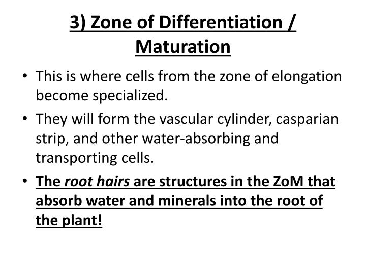 3) Zone of Differentiation / Maturation