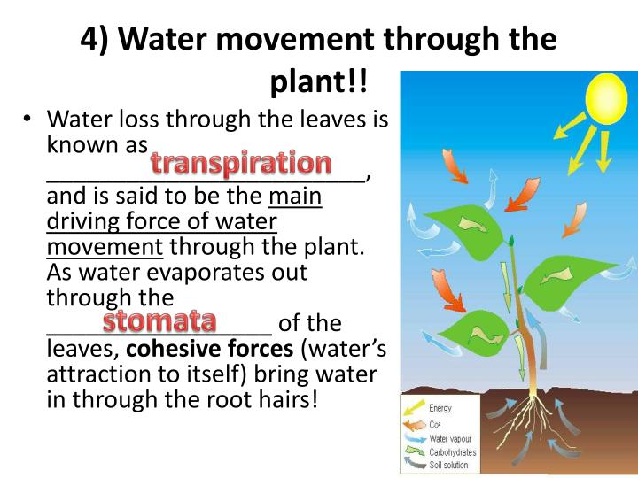 4) Water movement through the plant!!