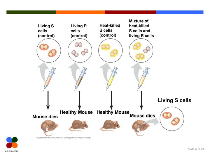 Mixture of heat-killed     S cells and living R cells
