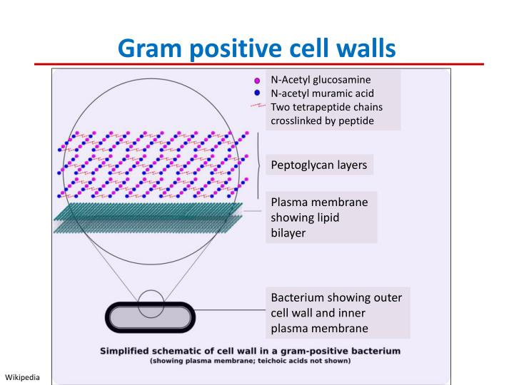 Gram positive cell walls