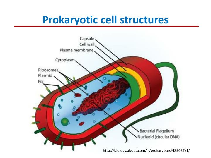 Prokaryotic cell structures
