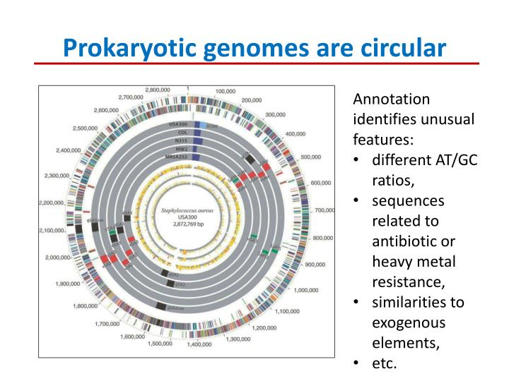 Prokaryotic genomes are circular