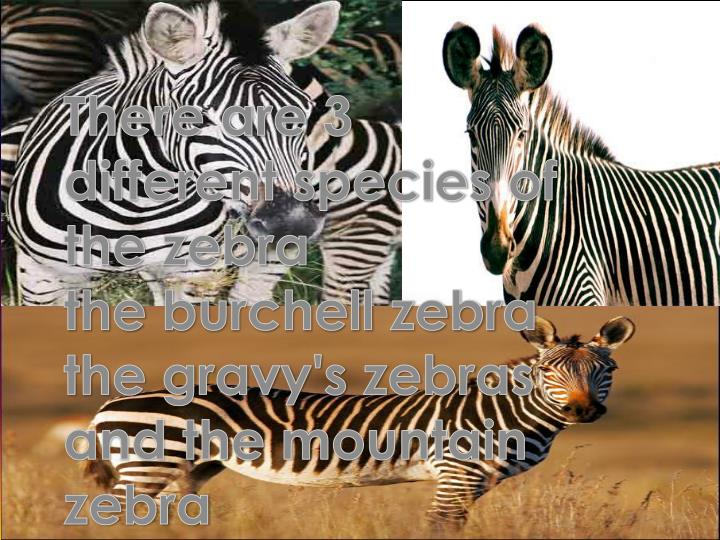 There are 3 different species of the zebra