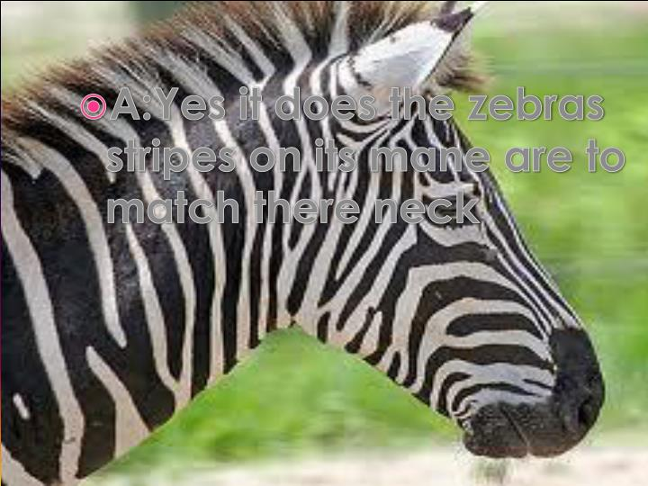A:Yes it does the zebras stripes on its mane are to match there neck