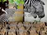 some of the things the zebras eat are twigs bark and leafs making them herbivores