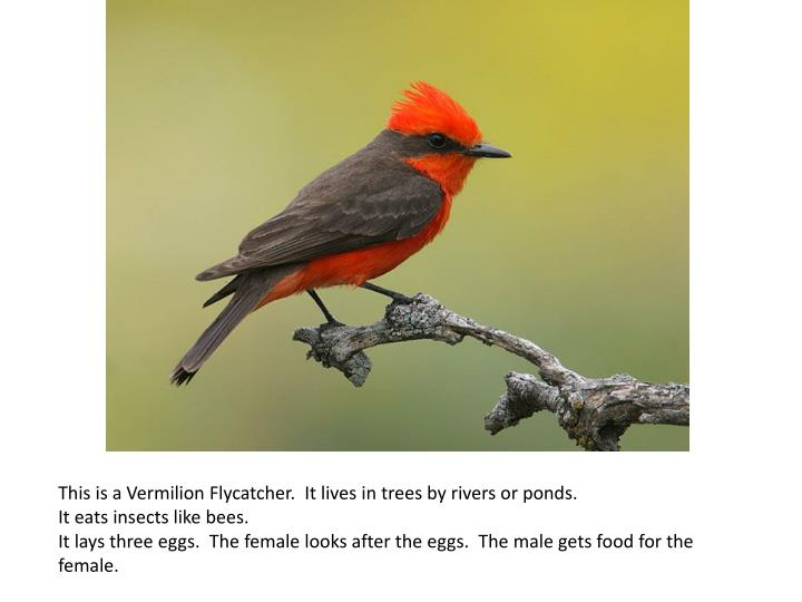 This is a Vermilion Flycatcher. It lives in trees by rivers or ponds.