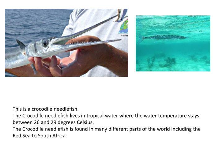 This is a crocodile needlefish.