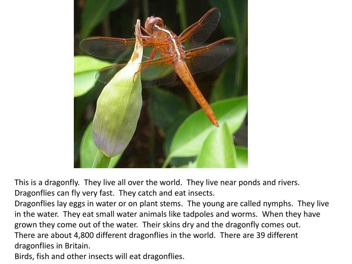 This is a dragonfly. They live all over the world. They live near ponds and rivers.