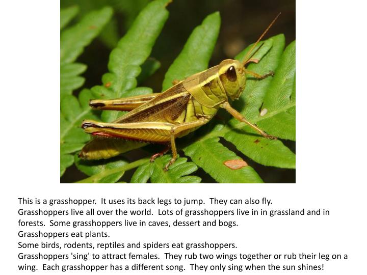 This is a grasshopper. It uses its back legs to jump. They can also fly.