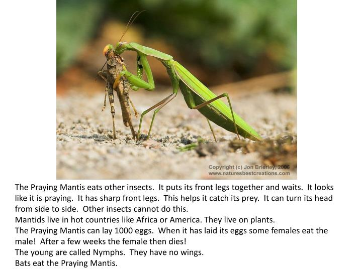 The Praying Mantis eats other insects. It puts its front legs together and waits. It looks like it is praying. It has sharp front legs. This helps it catch its prey. It can turn its head from side to side. Other insects cannot do this.