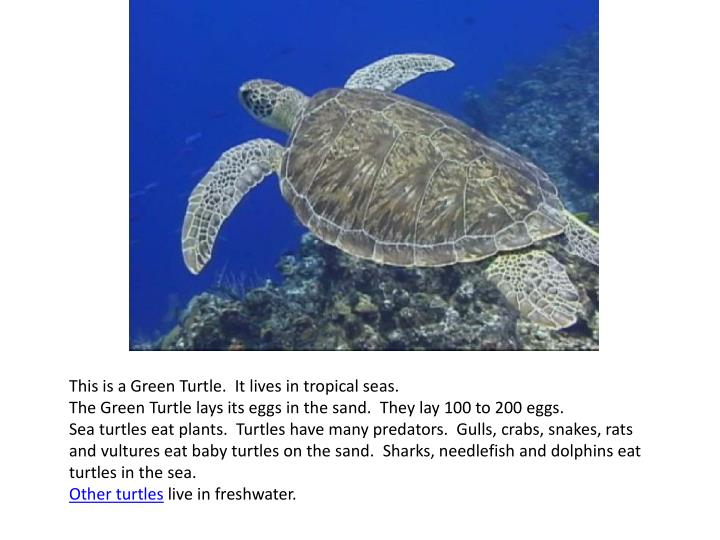 This is a Green Turtle. It lives in tropical seas.