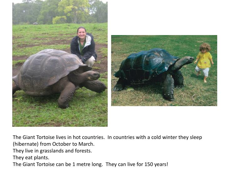 The Giant Tortoise lives in hot countries. In countries with a cold winter they sleep (hibernate) from October to March.