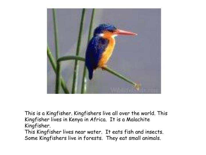 This is a Kingfisher. Kingfishers live all over the world. This Kingfisher lives in Kenya in Africa. It is a Malachite Kingfisher.
