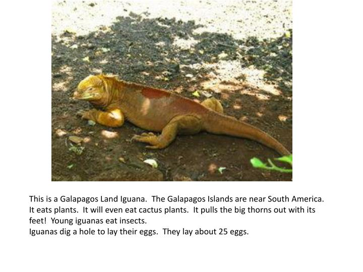 This is a Galapagos Land Iguana. The Galapagos Islands are near South America.
