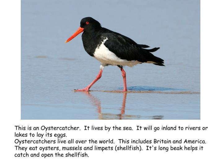 This is an Oystercatcher. It lives by the sea. It will go inland to rivers or lakes to lay its eggs.