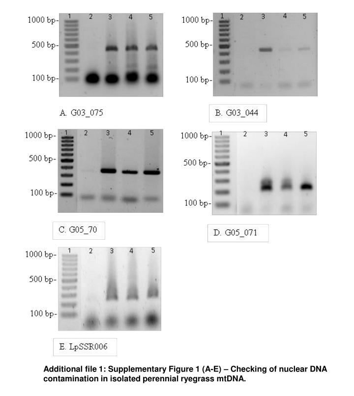 Additional file 1: Supplementary Figure 1 (A-E) – Checking of nuclear DNA contamination in isolate...