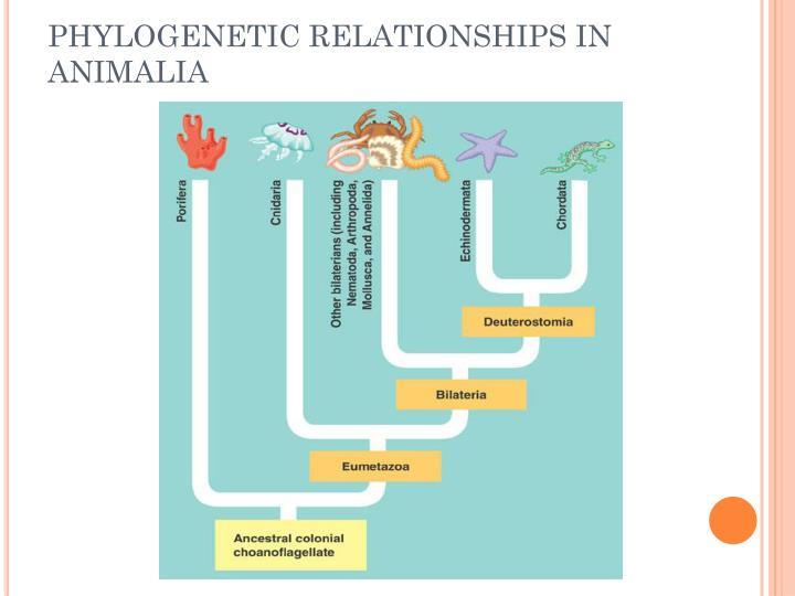 PHYLOGENETIC RELATIONSHIPS IN ANIMALIA