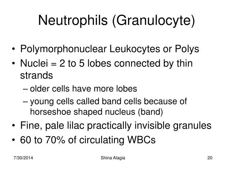 Neutrophils (Granulocyte)