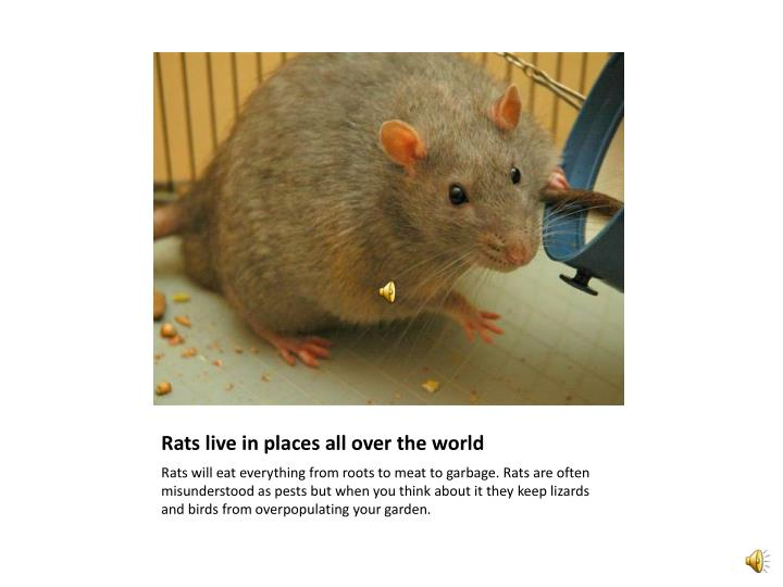 Rats live in places all over the world