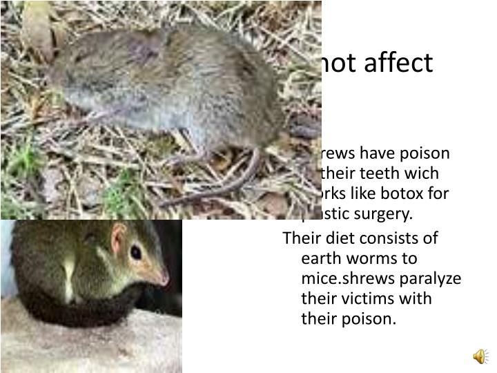Shrews poison does not affect humans!