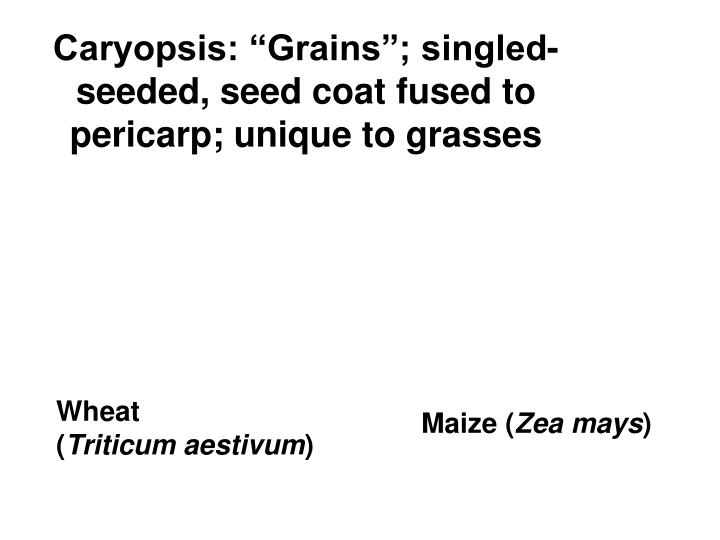 """Caryopsis: """"Grains""""; singled-seeded, seed coat fused to pericarp; unique to grasses"""
