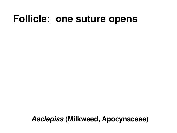 Follicle:  one suture opens