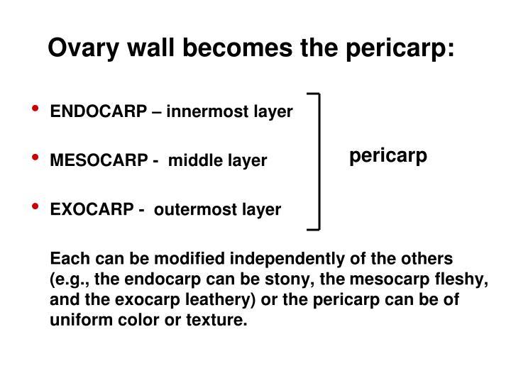 Ovary wall becomes the pericarp: