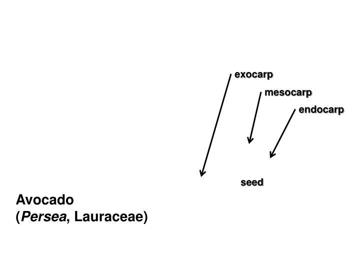 exocarp