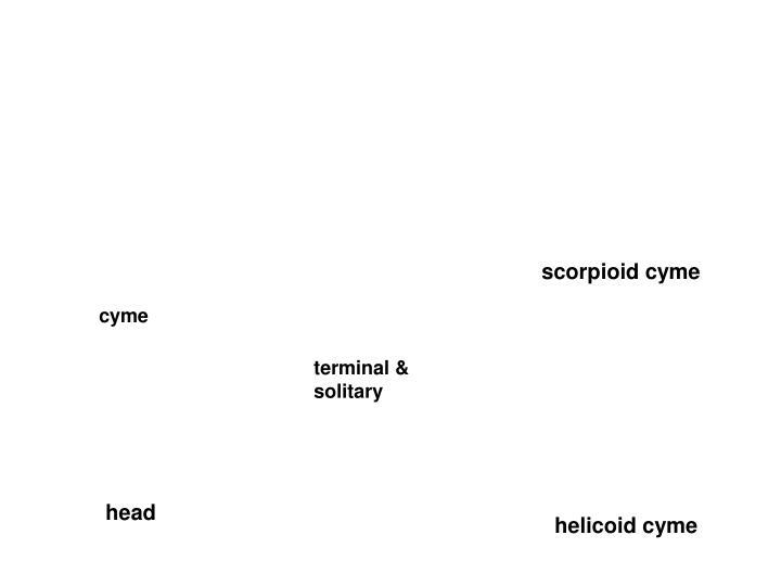 scorpioid