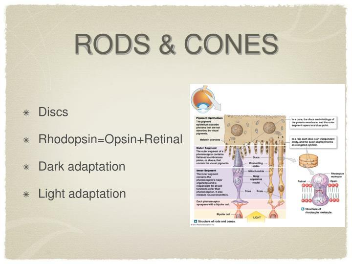 RODS & CONES
