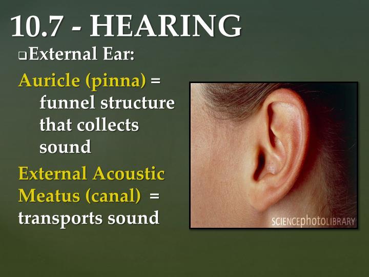 External Ear: