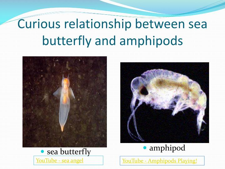 Curious relationship between sea butterfly and amphipods