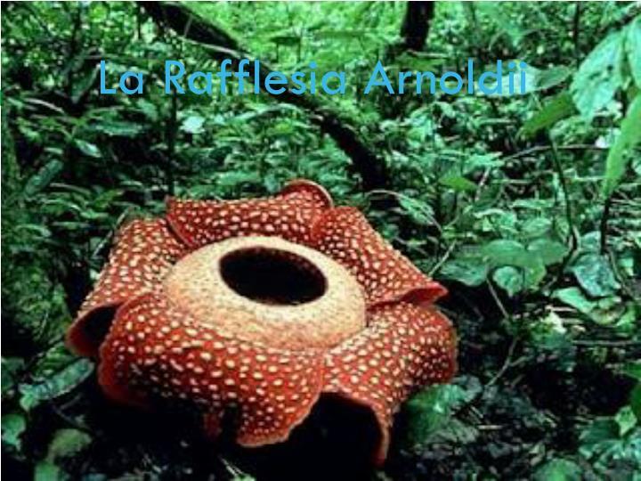 La Rafflesia Arnoldii