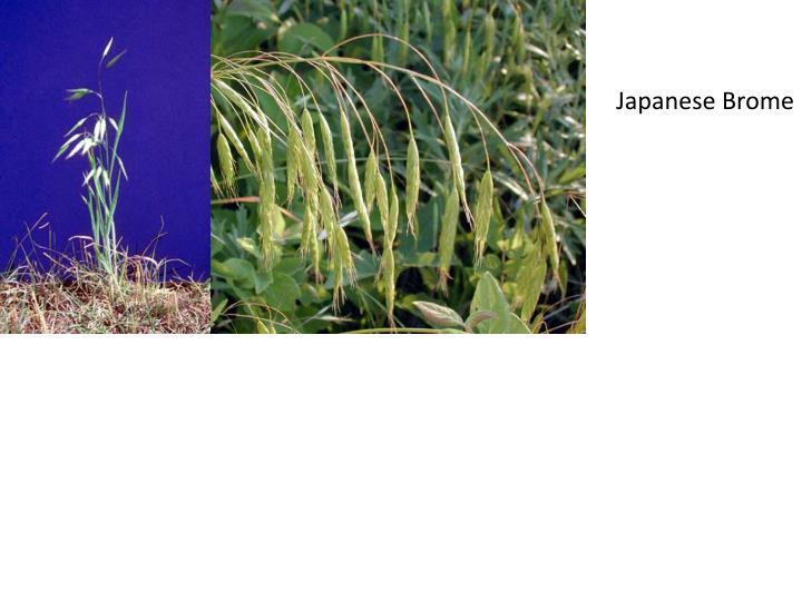 Japanese Brome