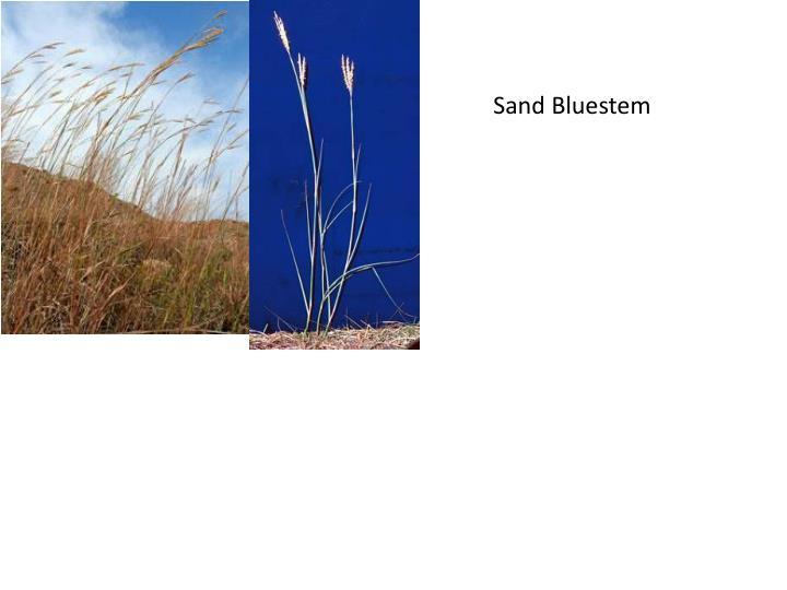 Sand Bluestem