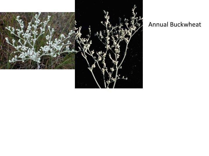 Annual Buckwheat