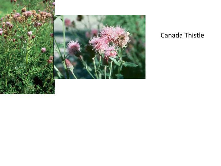 Canada Thistle