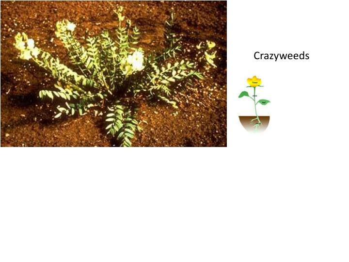 Crazyweeds