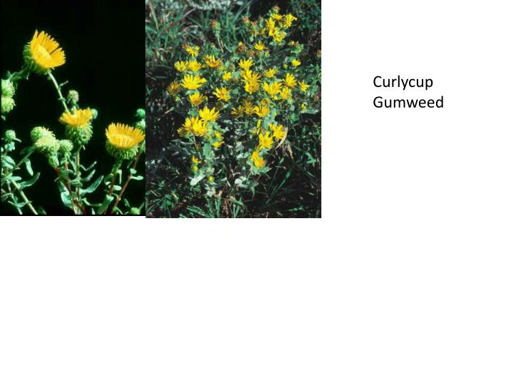 Curlycup