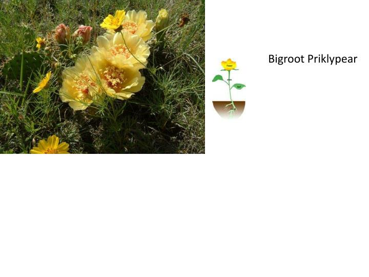 Bigroot